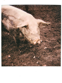 Solo Pig- East Harling (July 21')