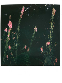 Sea of Foxgloves- Thetford (July 21')
