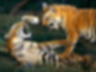 bengal-tiger-playing_461_600x450.jpg