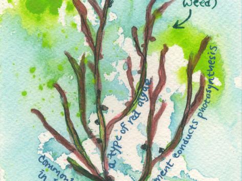 Gracilaria tikvahiae