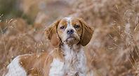 chien-arret-Epagneul_Breton.jpg