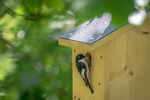 pied flycatcher.jpg