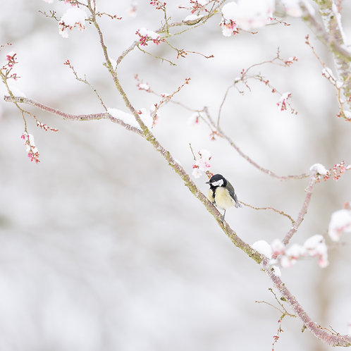 Card-Great Tit in blossom