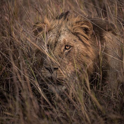 Card-Lion in grass