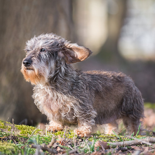 Card-Wire Haired Dachshund