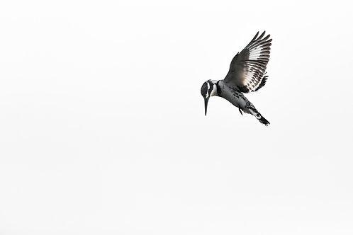 Print- Pied kingfisher