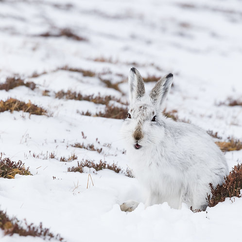 Card-Mountain Hare in snow