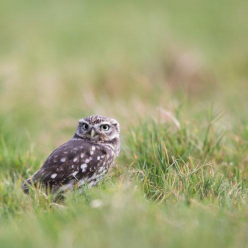 Card- Little Owl