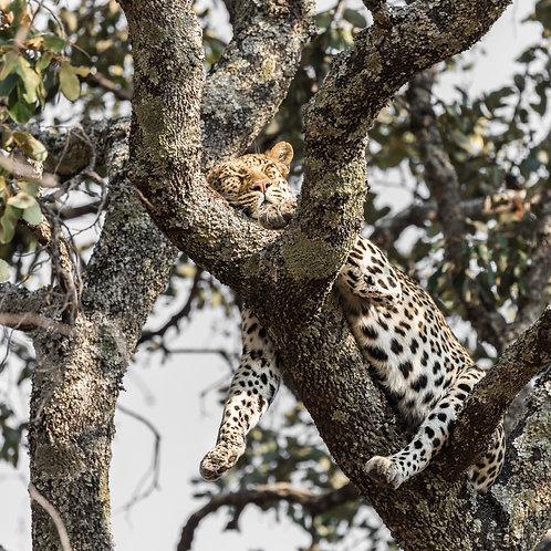 Card-Sleepy Leopard