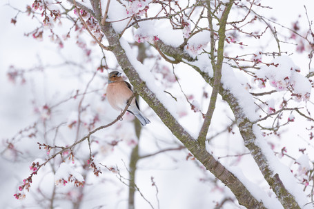 CHAFFINCH ON WINTER BLOSSOM