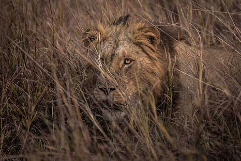 Print- Lion in grass