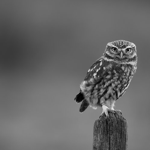 Card- Little Owl