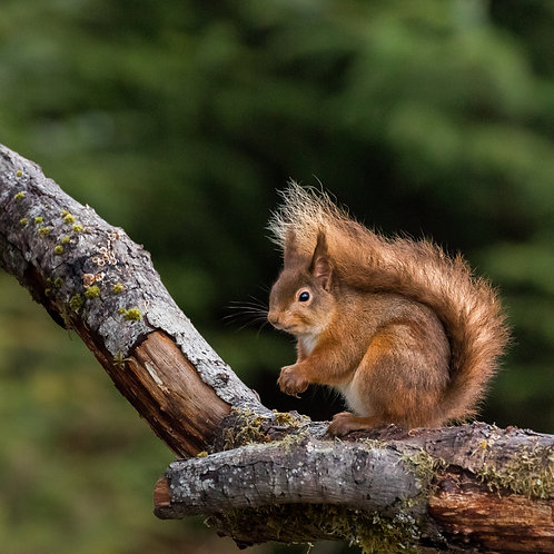 Card- Red Squirrel