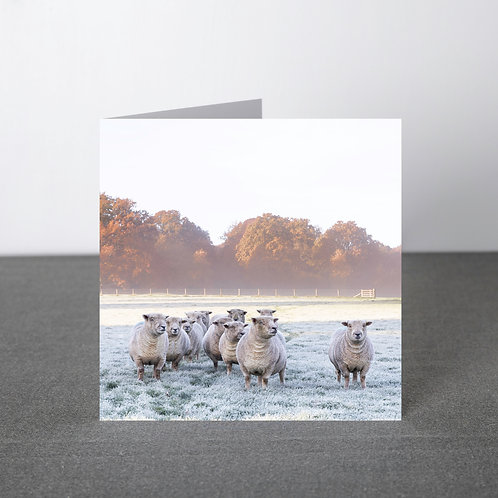 Card- Southdown sheep in frost