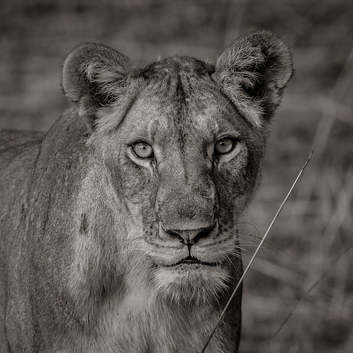 Card-African Lioness