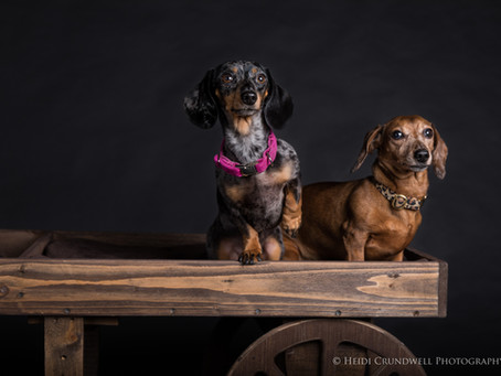 Dog photography with two gorgeous Mini Dachshunds