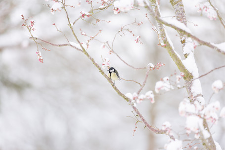 GREAT TIT ON BLOSSOM