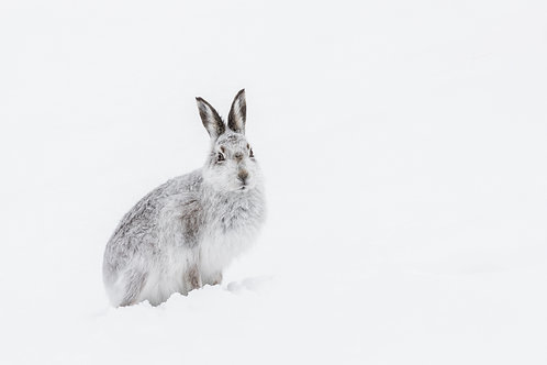 Print-Mountain Hare