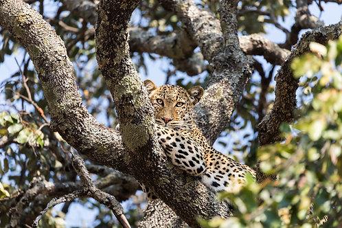 Print- Leopard gaze