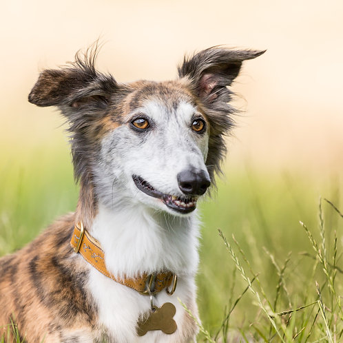 Card- Lurcher in long grass