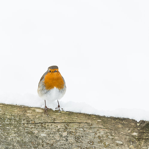 Card-Robin snow