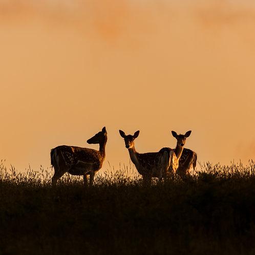 Card- Fallow Deer at Sunset