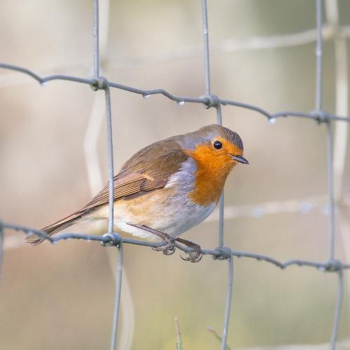 Card- Robin