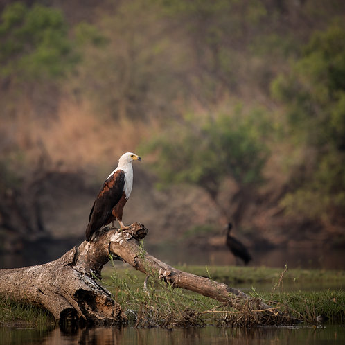 Card- Fish Eagle