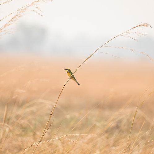 Card- Bee- Eater