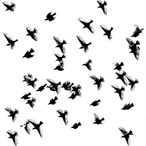 Card- Starlings in Flight