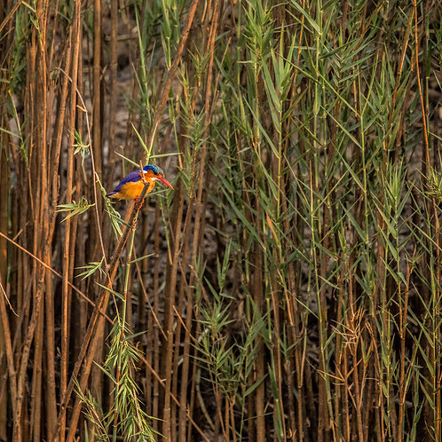Card-Malachite Kingfisher
