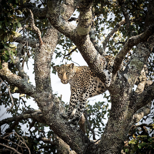 Card-Leopard