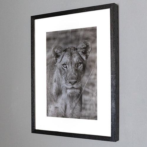Framed Print- Lioness