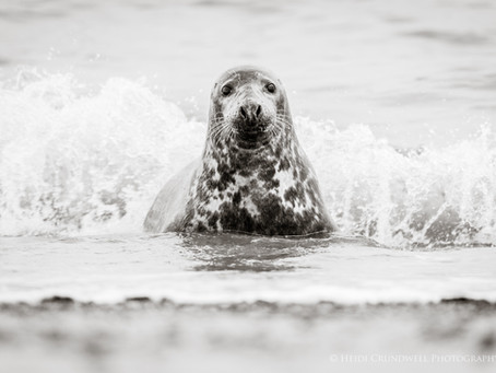 Grey Seals on the Norfolk coast and the sad reality of human interaction