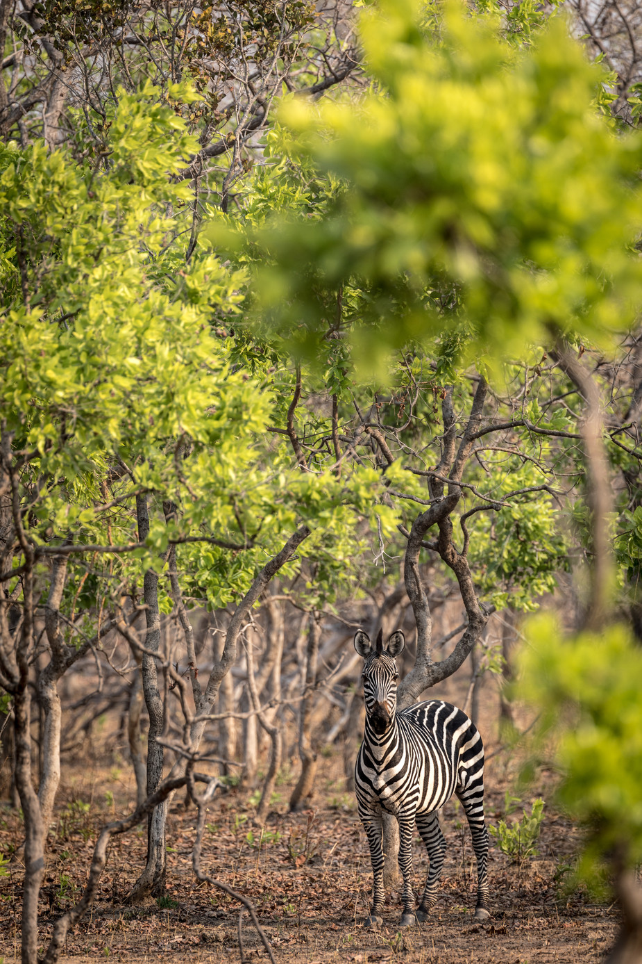 ZEBRA IN MIOMBO WOODLAND