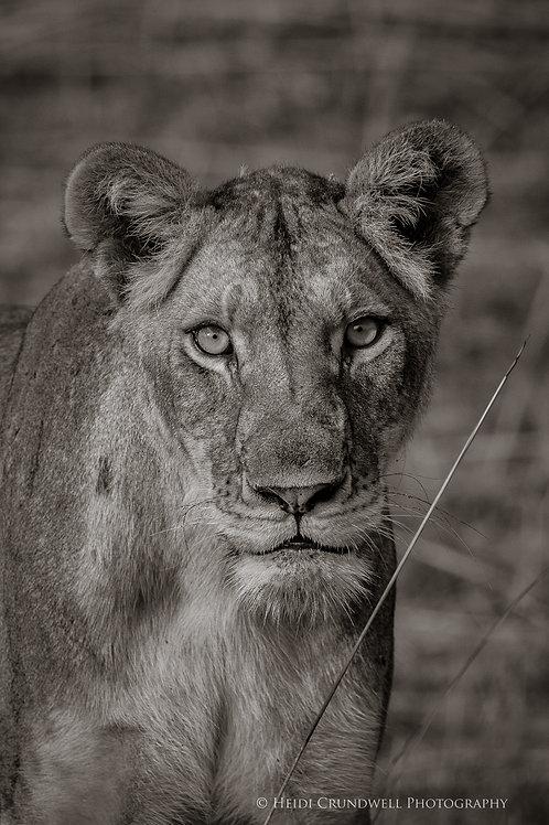 Print- Lioness