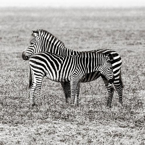 Card-Zebra crossing