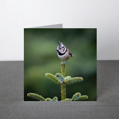 Card-Crested tit