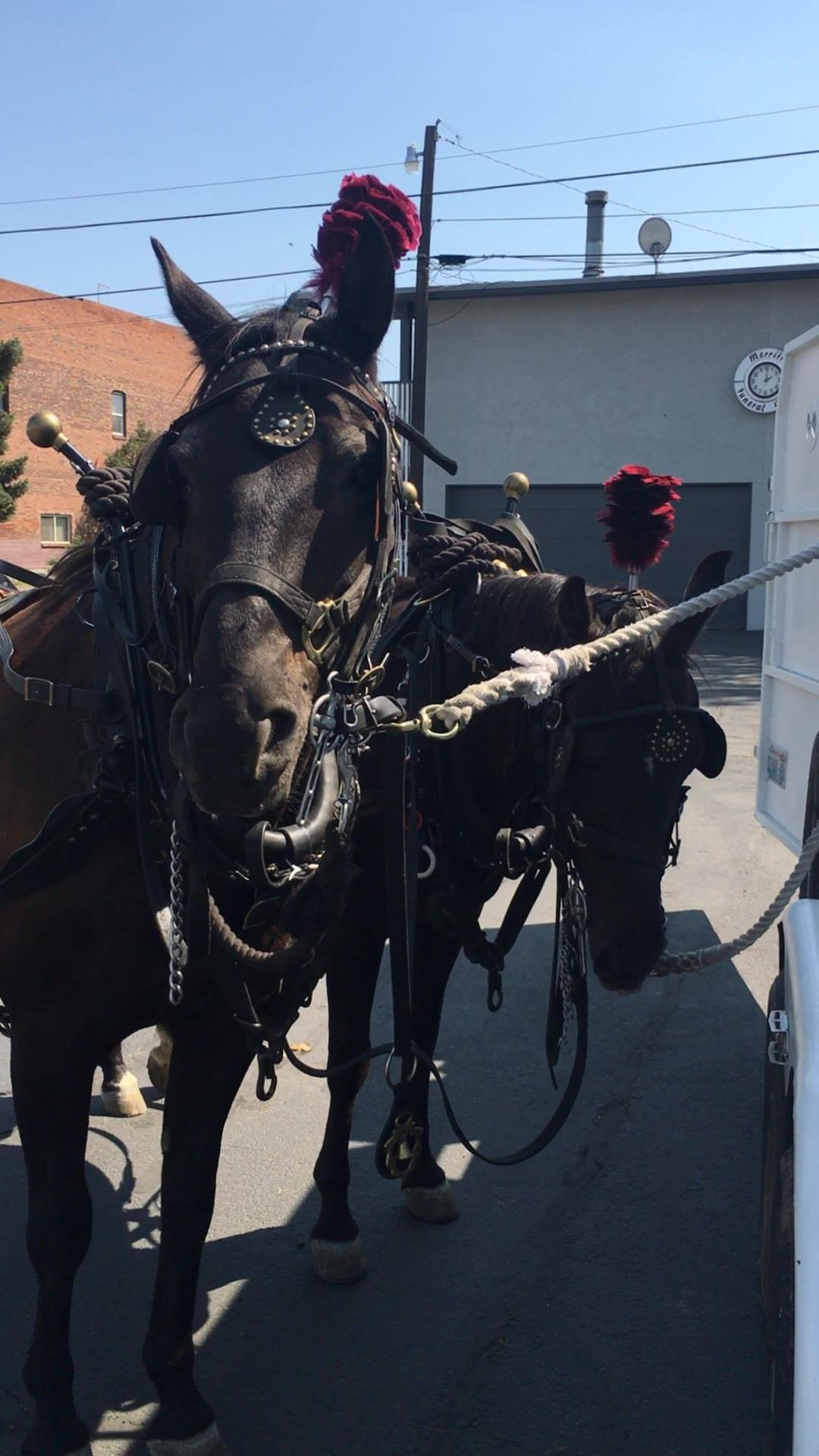 Jack and Jill asked us to share a clip of them horsing around 😊🐴🐴 - they are busy driving for 2 special events today - A quinceanera and a wedding - they're having a great time, stay tuned for pictures!