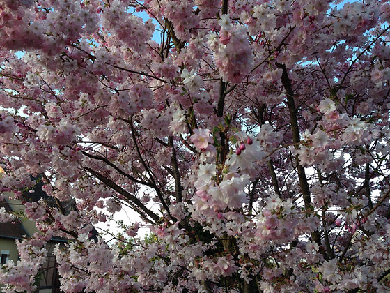 Prunus Accolade - Cerisier du Japon