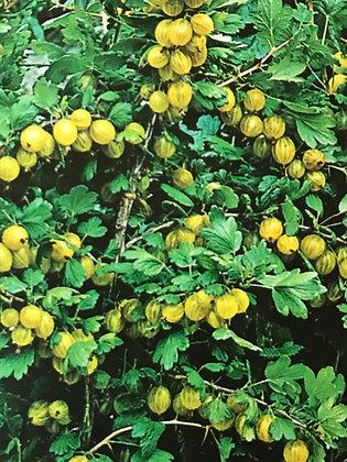 Grosseillier à maquereau - Ribes uva crispa