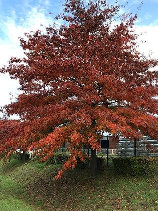 Quercus Palustris - Chène des marais