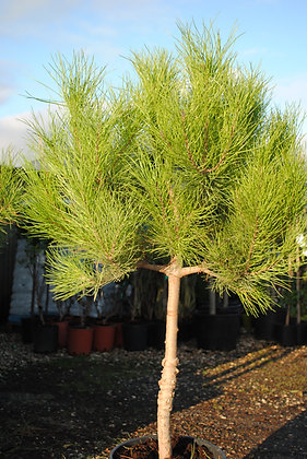 Pinus Pinea - Pin parasol ou Pin pignon