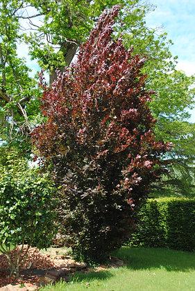 Fagus S. Dawyck Purple - Hetre pourpre colonnaire