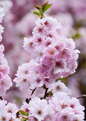 Prunus Ser. Amanogawa - Cerisier à fleurs