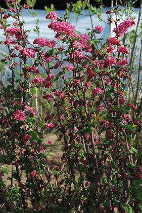 Ribes S. King Edward - Groseillier à fleurs