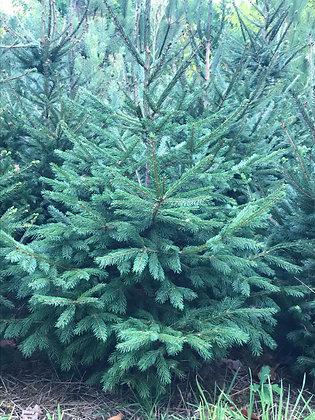Picea Pungens Glauca - Epicéa du Colorado