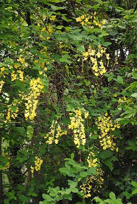Laburnum Anagyroides - Cytise commun