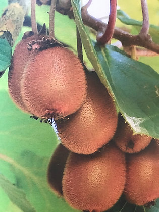 Kiwi - Actinida