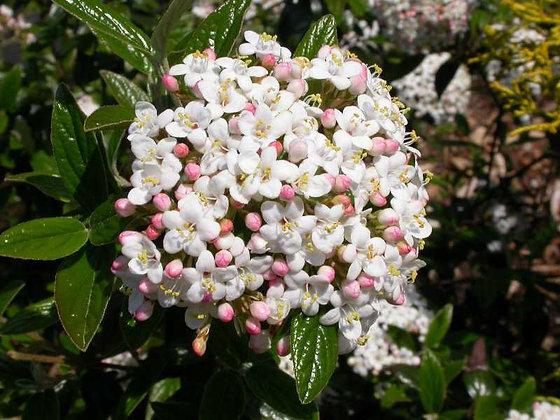 Viburnum Burkwoodii - Viorne